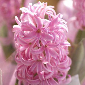 fleur de bulbe de jacinthe rose