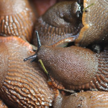 Limaces et escargots: Conseils pour prévenir leurs futurs dégâts