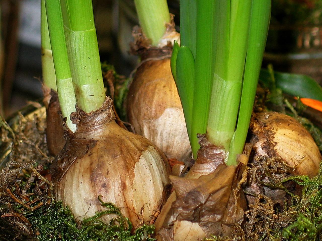 Comment Planter Du Muguet comment planter des bulbes ? conseils plantation bulbes