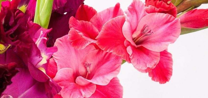 Le Glaïeul: Une fleur à couper le souffle