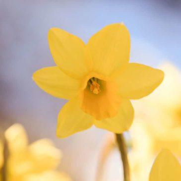 Narcisse, un bulbe à la beauté mythologique