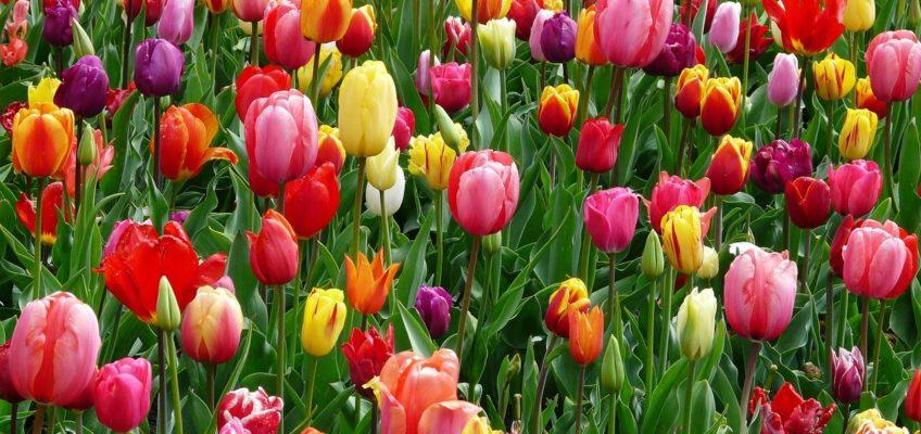 Tulipes: Acheter, Choisir, Planter et Entretenir ...