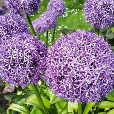 Allium (Ail d'ornement) - Un bulbe sensationnel !