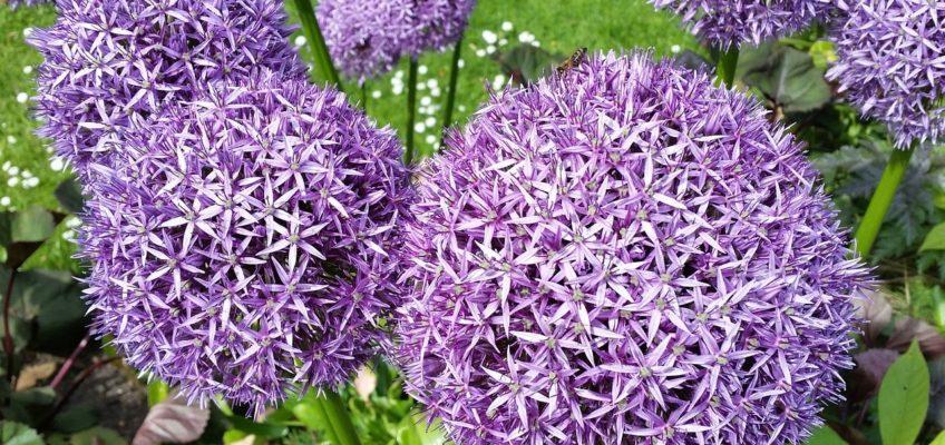 Allium (Ail d'ornement) – Un bulbe sensationnel !