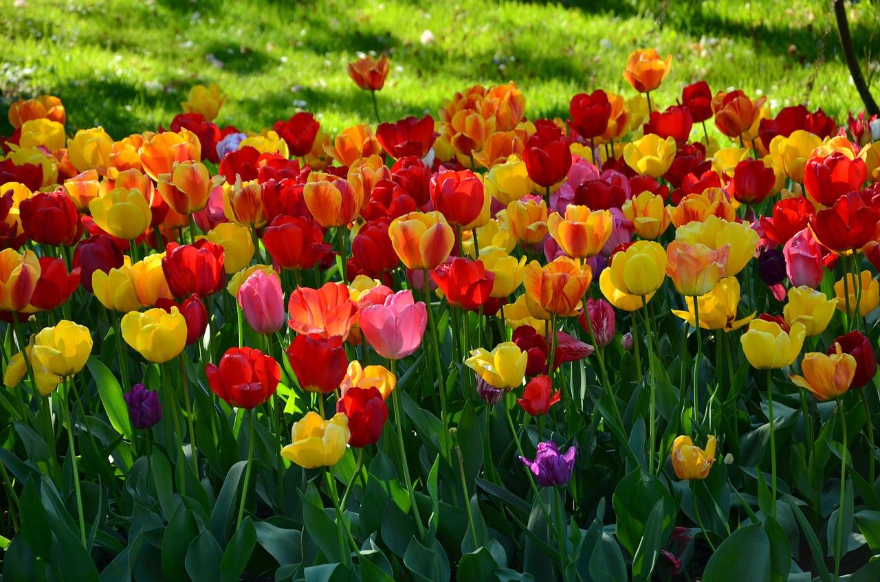 Doit On Deterrer Les Oignons De Tulipes plantation des tulipes : quand, où, comment et avec quels