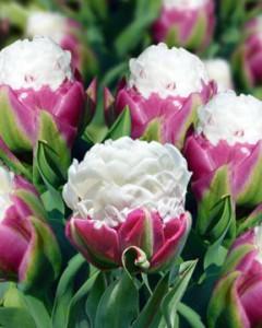 la tulipe ice cream