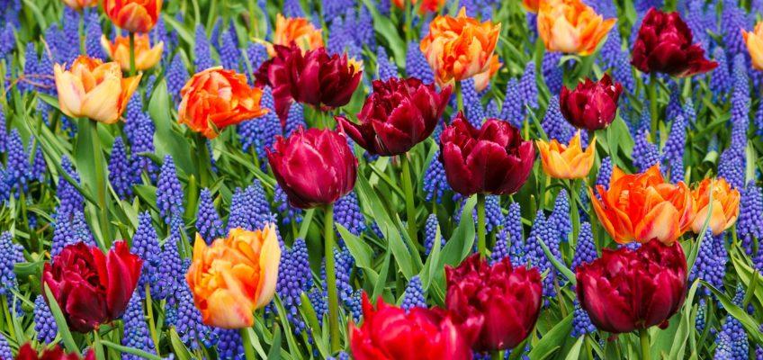 Bulbes à floraison printanière : créer de belles associations