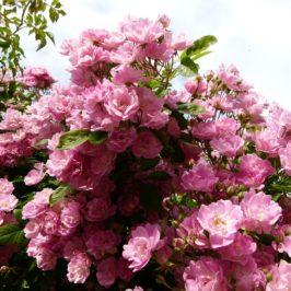 Quand planter, tailler et entretenir les rosiers ? Conseils mois par mois