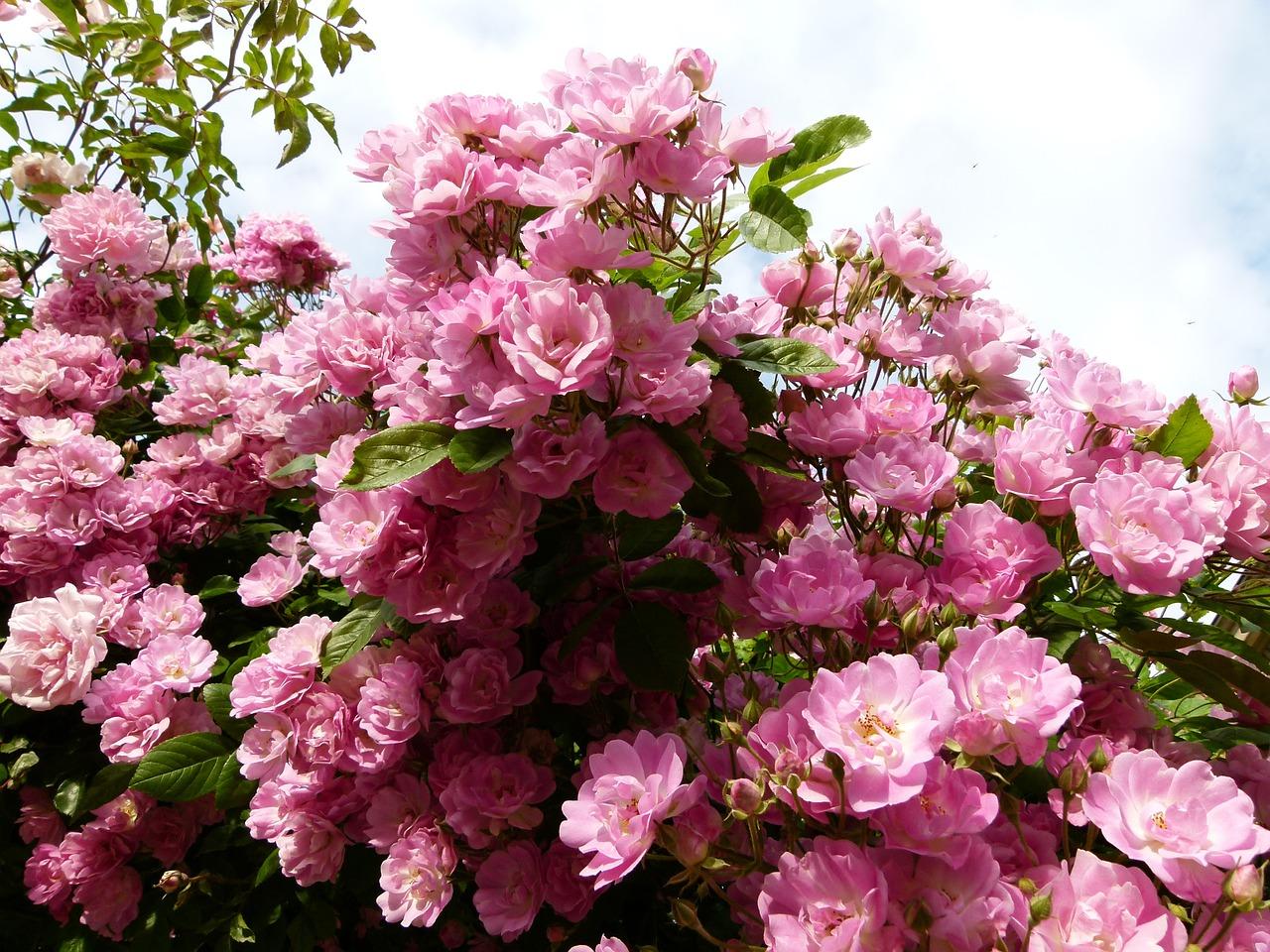 Quand Et Comment Tailler Un Rosier conseils mensuels pour avoir de beaux rosiers toute l'année?