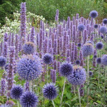 Agastache – Une vivace florifère et facile