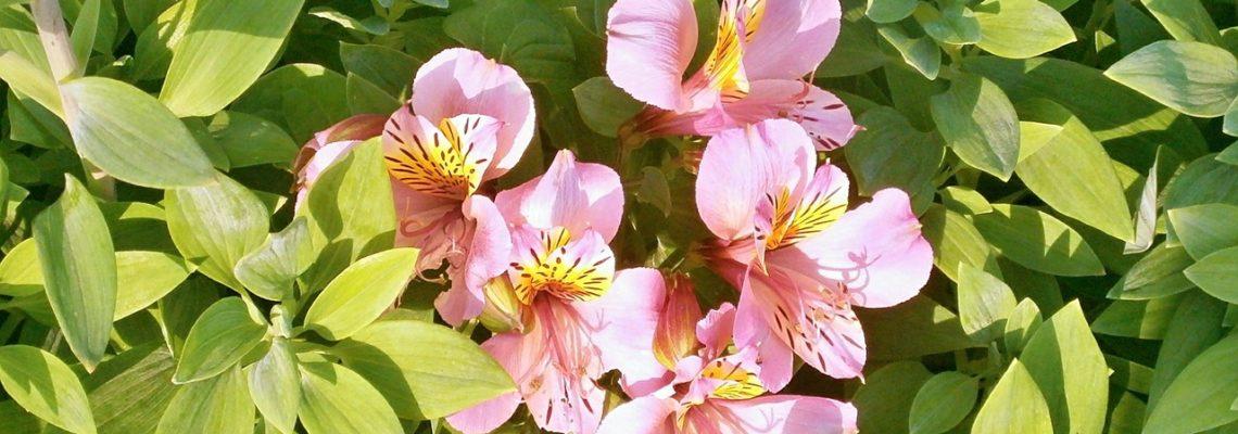 Alstroemère – De multiples couleurs estivales