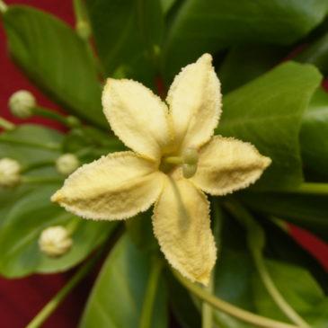 Conseils Palmier Hawaïen - Brighamia insignis