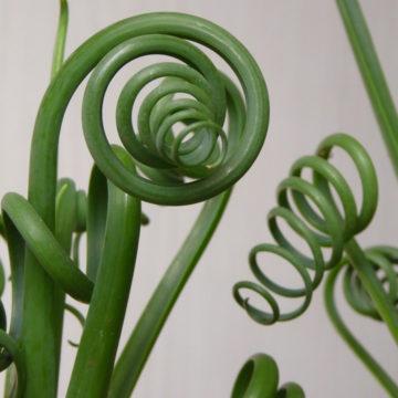 Albuca spiralis – Une plante de folie !