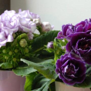 Le GloxiniaSinningia : plante tubéreuse d'intérieur vivace