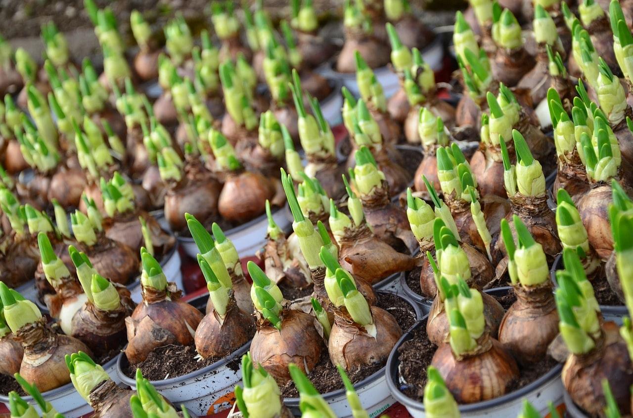 Doit On Deterrer Les Oignons De Tulipes tout savoir sur les bulbes à fleurs !