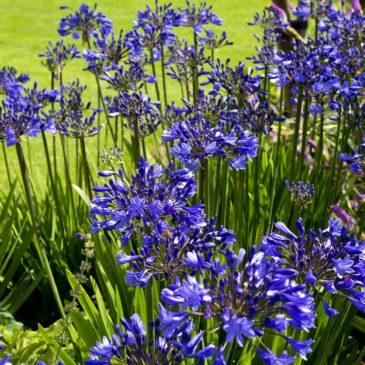 L'Agapanthe bleue ou blanche - Une belle grande vivace de l'été