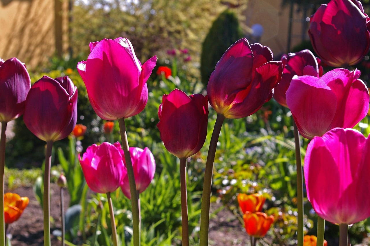Doit On Deterrer Les Oignons De Tulipes que faire après la floraison des bulbes ?