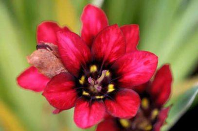 Le Sparaxis: une plante bulbeuse d'été aux couleurs chatoyantes