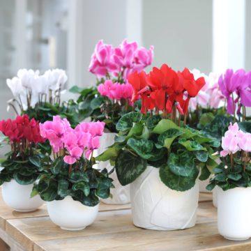 Le cyclamen des fleuristes, cyclamen de Perse: tubéreuse, vivace, très florifère