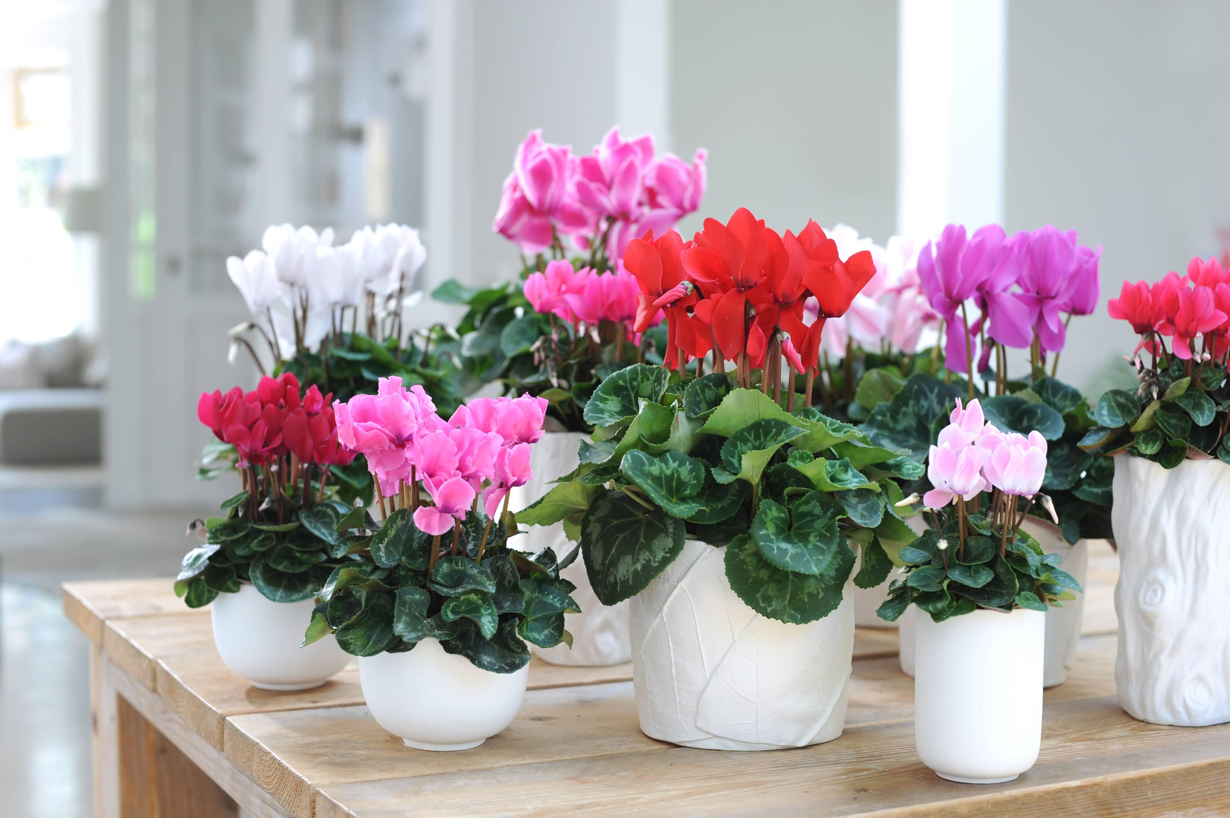 Quelle Plante Mettre Dans Un Grand Pot Exterieur cyclamen: conseils d'achat, d'entretien et de plantation