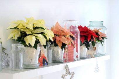 Le poinsettia ou étoile de Noël: achat, entretien, rempotage