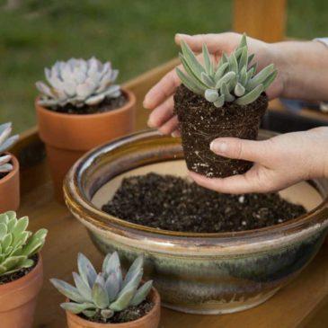 Rempoter des succulentes