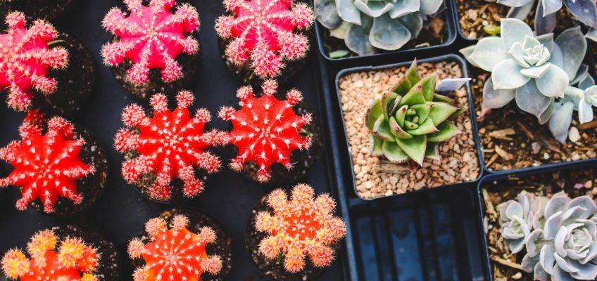 Peut-on laisser un cactus dehors ?